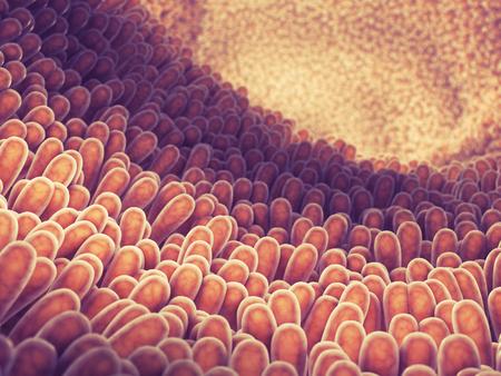 intestino: revestimiento delgado y vellosidades, la digesti�n y absorci�n de alimentos, las vellosidades intestinales