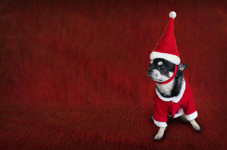 christmas costume: Cute Christmas card with a dog in Santas costume Stock Photo