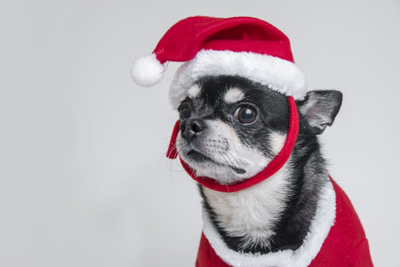 christmas costume: Cute chihuahua dressed in Christmas costume over white background