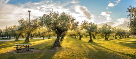 Panorama van zonsondergang achter grasgebied en olijfbomen
