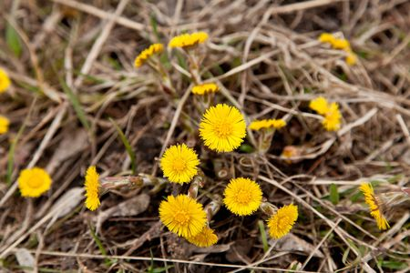taraxacum: Taraxacum officinale - first flowers of the spring