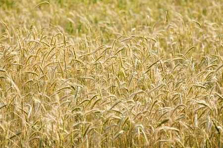 Yellow grain in the field Stock Photo - 7439213