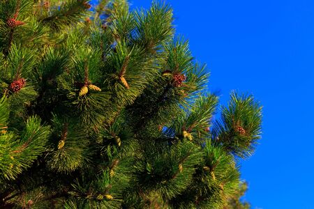 A fur-tree against the bright blue sky.  photo