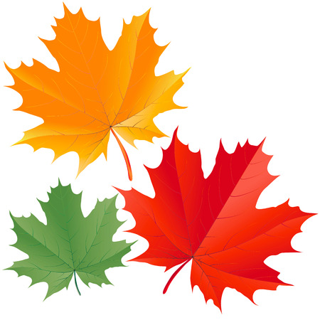 Colorful maple leaves Vector