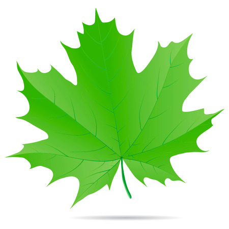 Green maple leaf isolated on a white background.