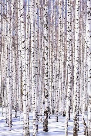 inmejorablemente: Bosque de abedul de invierno - invierno serenidad. Idealmente trajes para calendarios. Foto de archivo