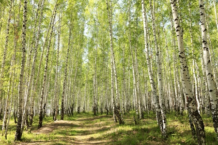 birch bark: summer green birch forest