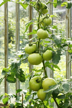 Big green tomatoes growing in a greenhouse photo