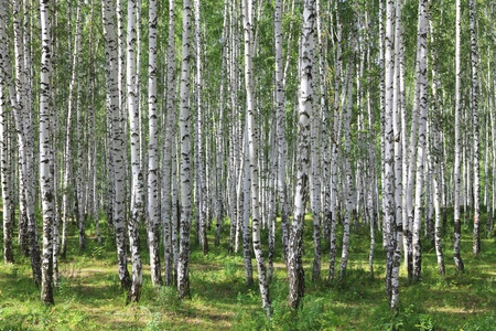 bark: summer green birch forest