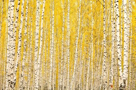 birch trees: Autumn birch forest