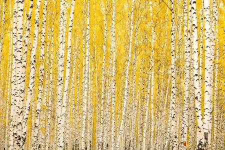 arboleda: Otoño bosque de abedul