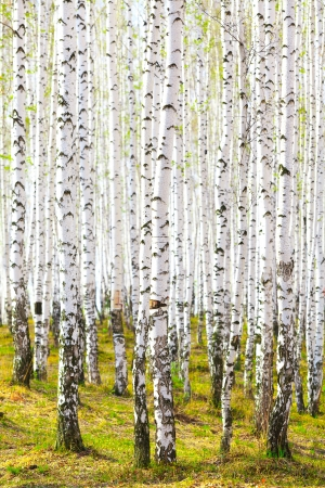 Spring in birch forest. April - May photo