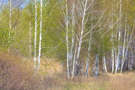 birch forest: Birch forest. April - May Stock Photo