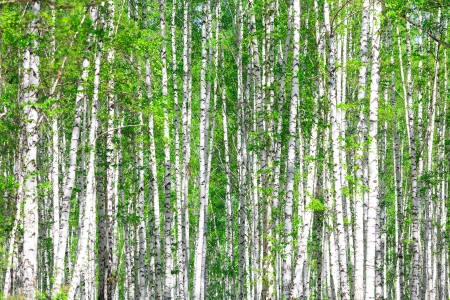 birch bark: Birch forest. May