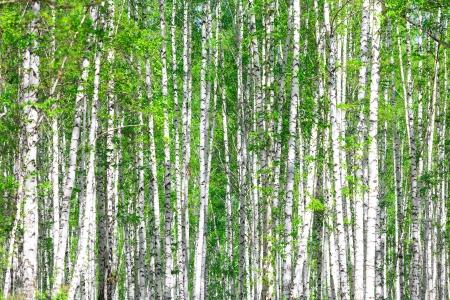 birch tree: Birch forest. May