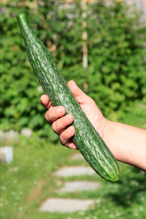 Large green cucumber photo