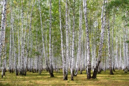 forest trail: Birch forest in autumn, september