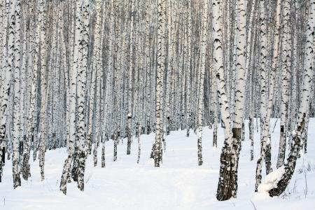 enero: Invierno abedul bosque, enero