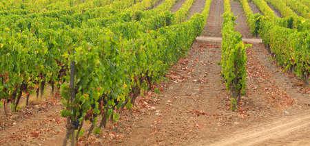 grape field: Grape field Stock Photo