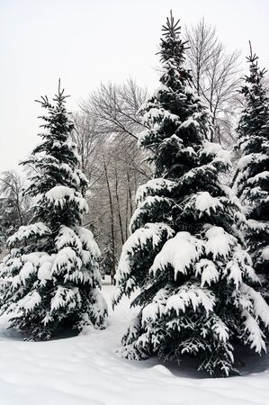 snow tree: snow covered fir trees