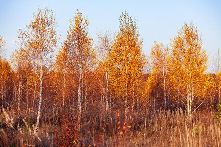 Title: Autumn in a birch forest.