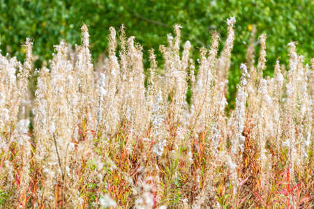 Field of dried flowers of blooming Sally in autumn forest