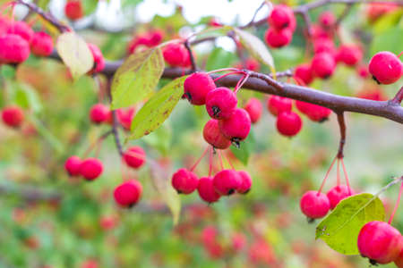 Ripe wild apples on a branch Stock Photo