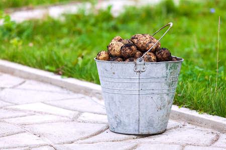Metal bucket full of fresh potatoes