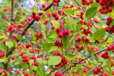 Ripe wild apples on the branches Stock Photo