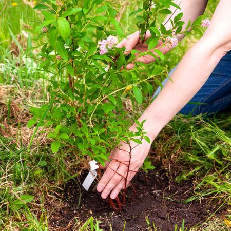 Gardener planting a sapling of spirea to the soil