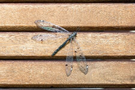Flat lay - dragonfly with iridescent wings on a wooden table - iridescent - brilliant - 写真素材