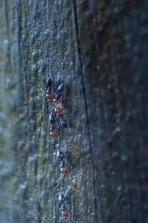 Row in a row of red-headed ants on the bark of a pine tree Banque d'images - 131845349
