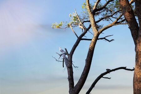 Herring Gull on a Mediterranean pine tree on a branch at a raptor at sunrise 写真素材