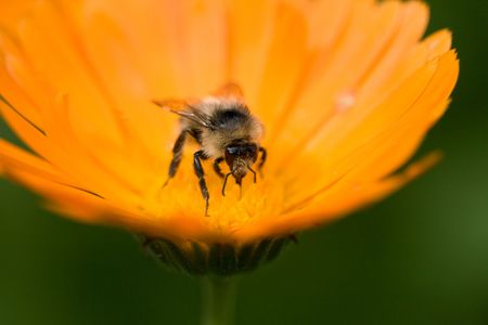 close up of a bee on a flower, macro, shallow DOF Stock Photo - 5452941
