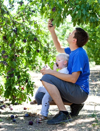 father picking delicious plums and son eating them photo
