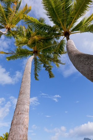 palm trees at the beach, view from below  photo