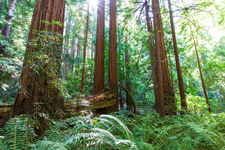 picture of coastal redwood forest in california photo