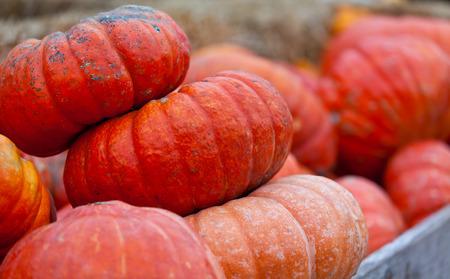 huge orange pumpkins at pumpkin patch photo