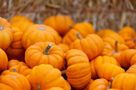 pile of small cute pumpkins at pumpkin patch