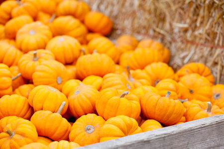 pile of small pumpkins at pumpkin patch, fall time photo