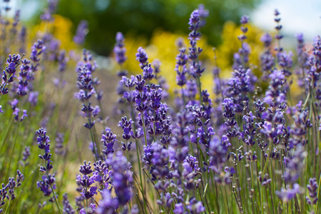 lavender: close-up of gorgeous beautiful blooming lavender in napa valley, california