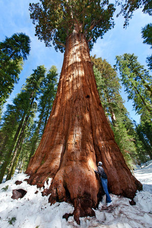 person admiring giant sequoia in sequoia national park at winter, tourism concept