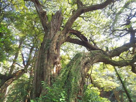 Castanopsis trees