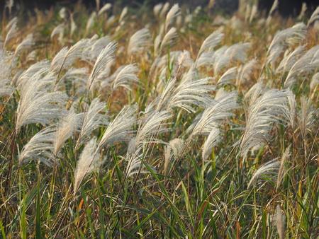 Japanese pampas grass grown on the floodplains