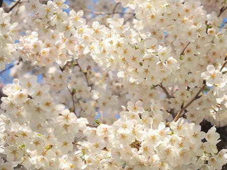 Cherry Blossom (someiyoshino) Banco de Imagens
