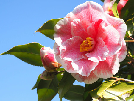 Large-flowered Camellia and blue sky
