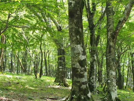 Mikuni mountain beech forest