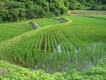 Rice paddy fields in Japan that began to grow rice