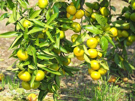 Fruitful mandarin orange tree