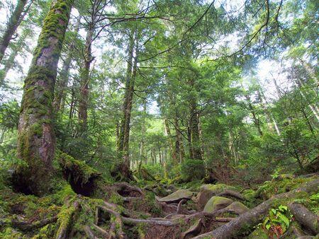 coniferous trees in Mt.Yatsugatake Japan